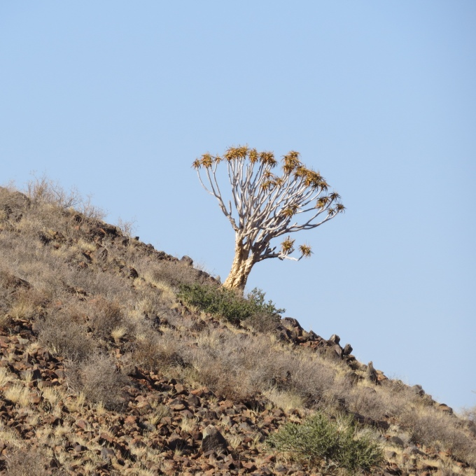 leaning quiver tree in namibia