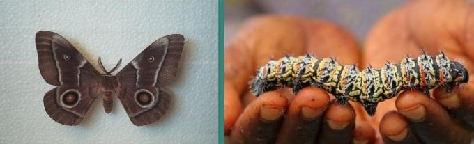 mopane moth of namibie