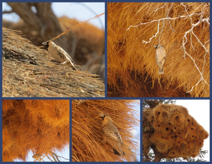 sociable weavers nest in naukluft namib np