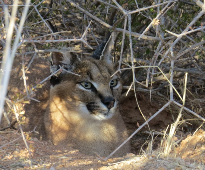 juliet the caracal at hammerstein lodge in namibia