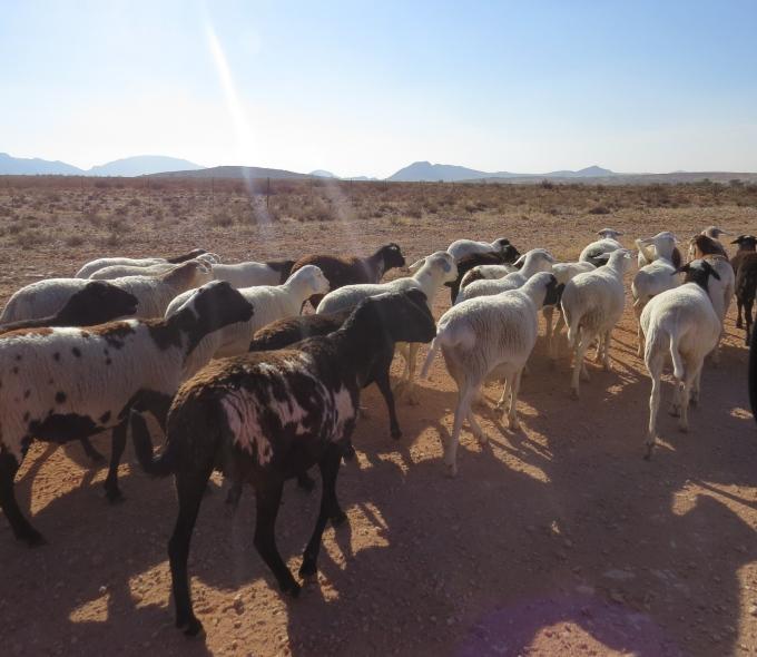sheep traffic jam hammerstein lodge namibia