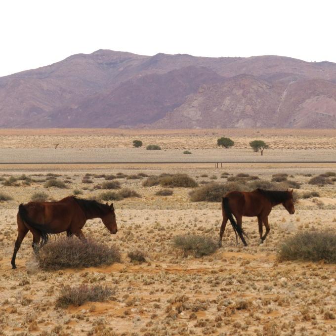 wild horses of aus namibia
