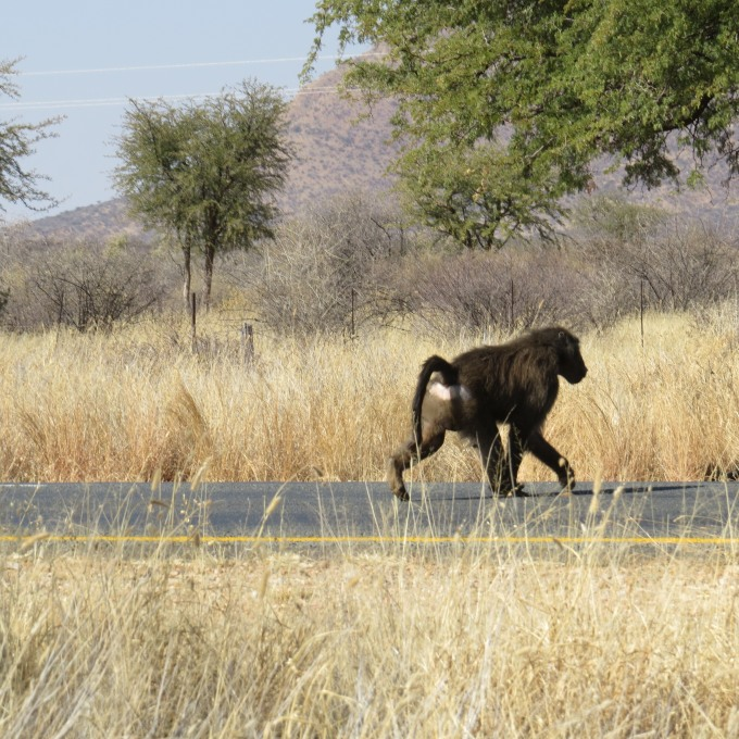 baboon crosses the road in namibia