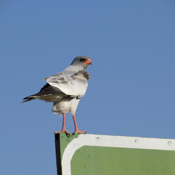 goshawk in namibia