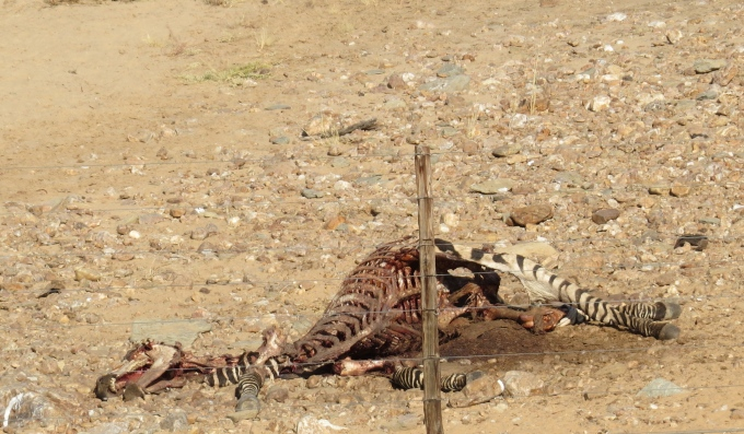 zebra carcass in namibia