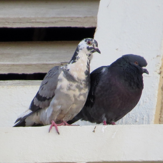 rock and carneau pigeons on felsenkirche luderitz namibia
