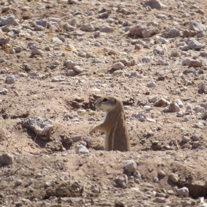 ground squirrel in namibia