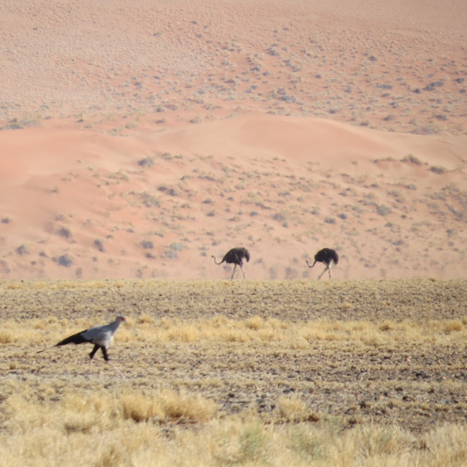 ostrich and secretary bird in naukluft namib np