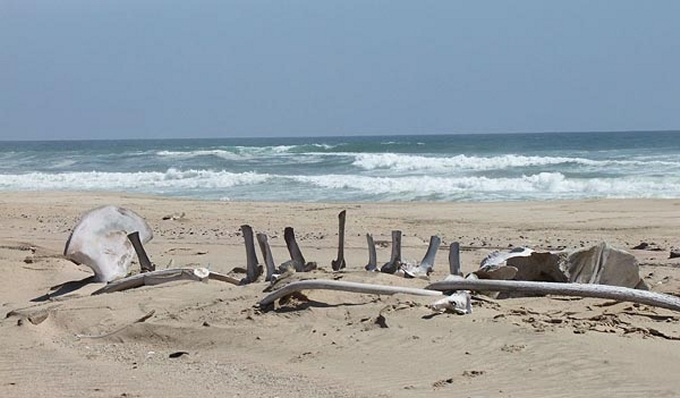whale bones on the skeleton coast namibia