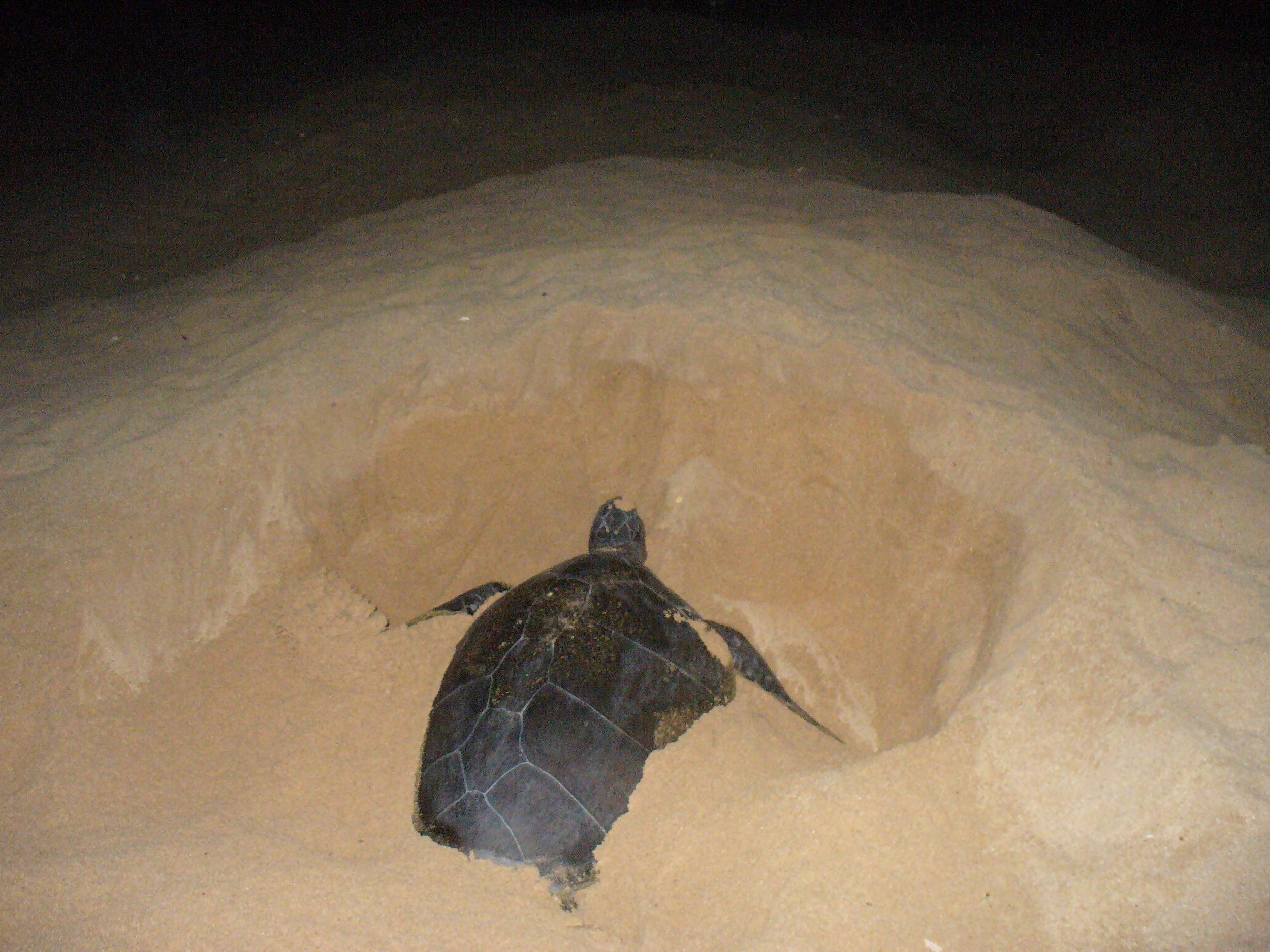 mama turtle digging a nest on ascension island