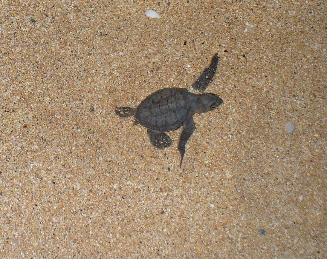 turtle hatchling ascension island