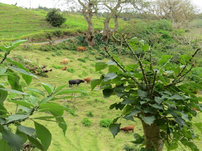 terraced cows on st. helena island