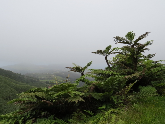 tree ferns on st. helena island