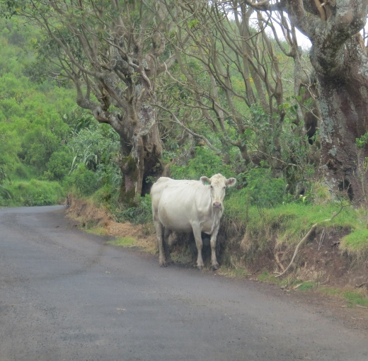 cow in the road at st. helena island