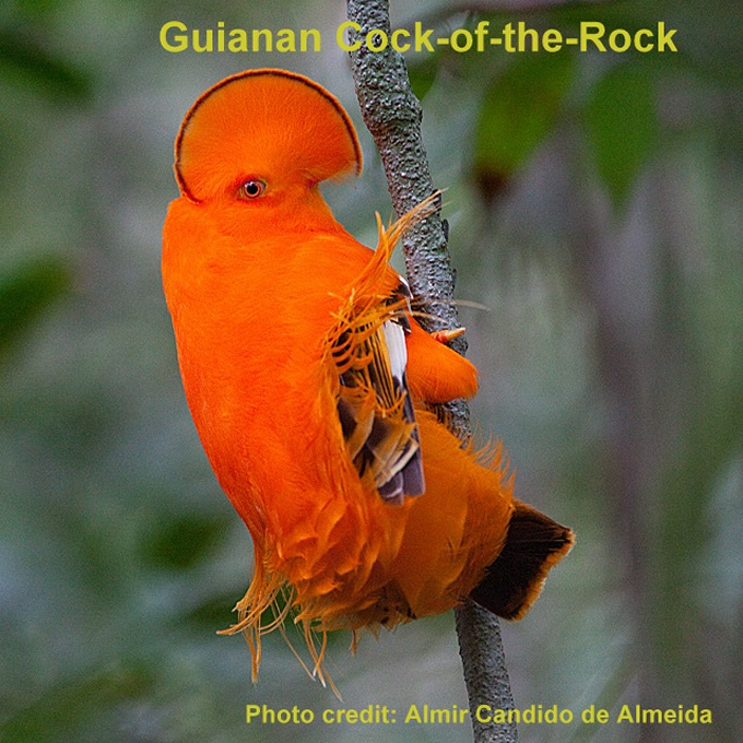 cock of the rock french guaina