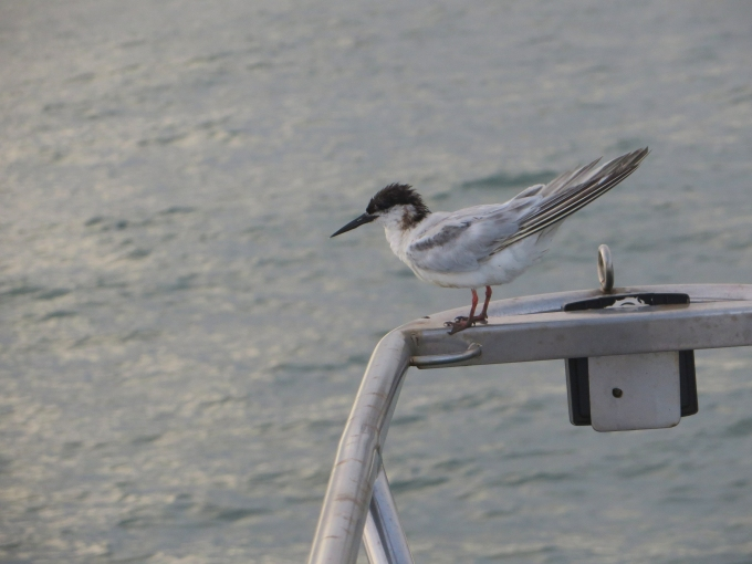 tern on the bow pulpit off french guiana