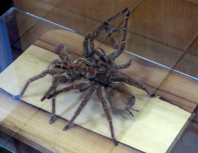 mating tarantulas in cayenne french guiana