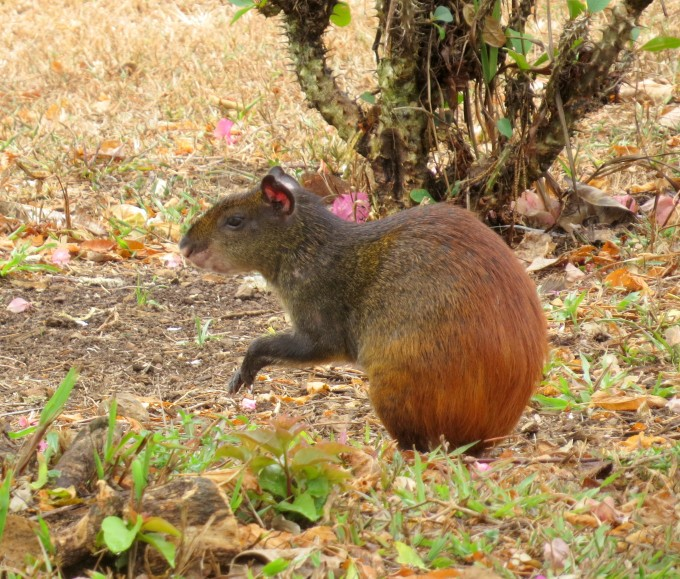 red rumped agouti french guiana
