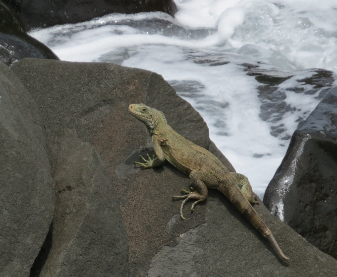 iguana ile royale french guiana