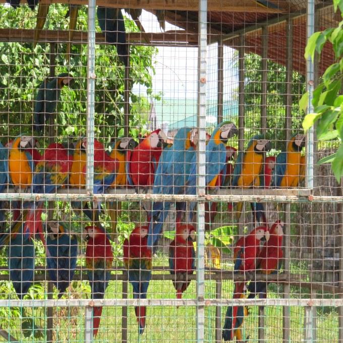 macaws in paramaribo