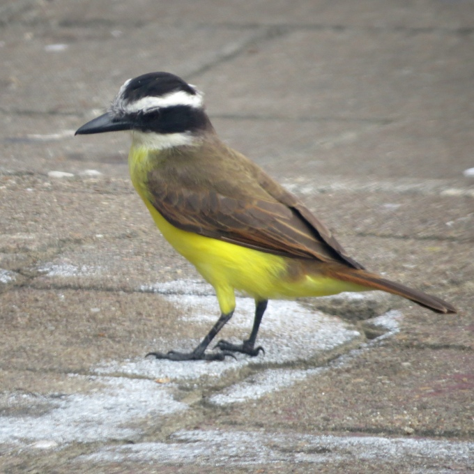 kiskadee at peperpot nature park suriname
