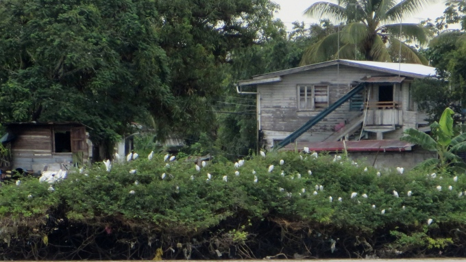 egrets on mangroves on essequibo river