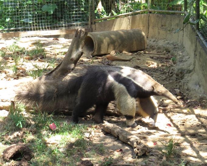 anteater paramaribo zoo