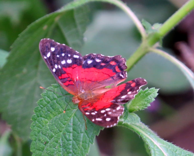 anartia in butterfly park paramaribo