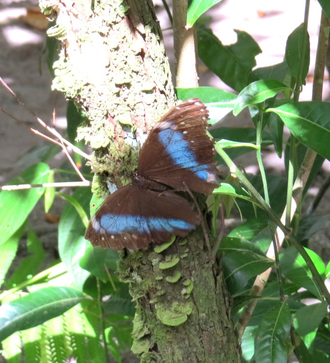 blue morpho butterfly park paramaribo