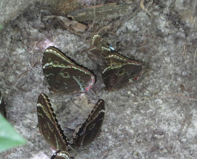 cluster of butterflies butterfly park paramaribo