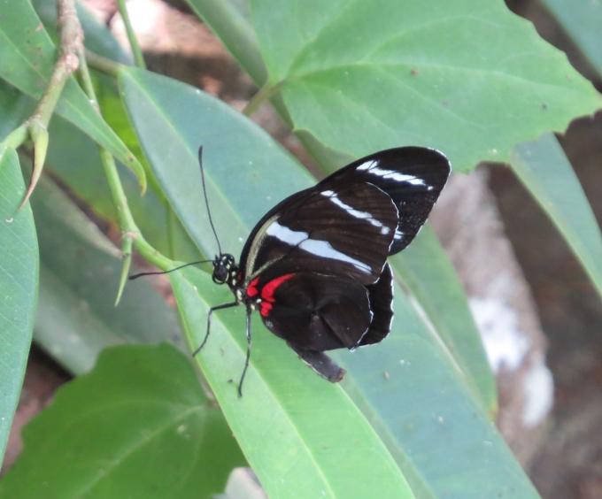 heliconius paramaribo buttlerfly park