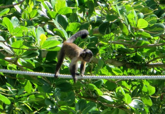 monkey in georgetown guyana