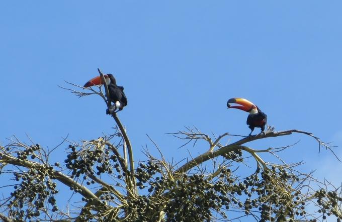 toucans in georgetown guyana