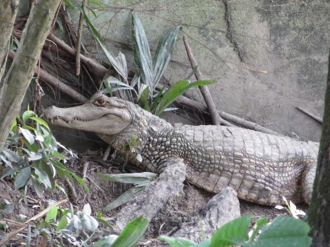black caiman in georgetown guyana