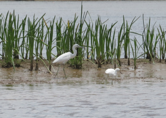 egrets in guyana