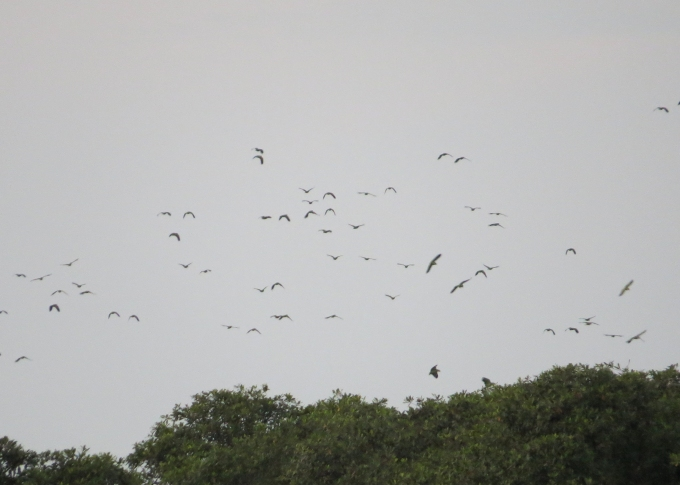 parrots returning in guyana
