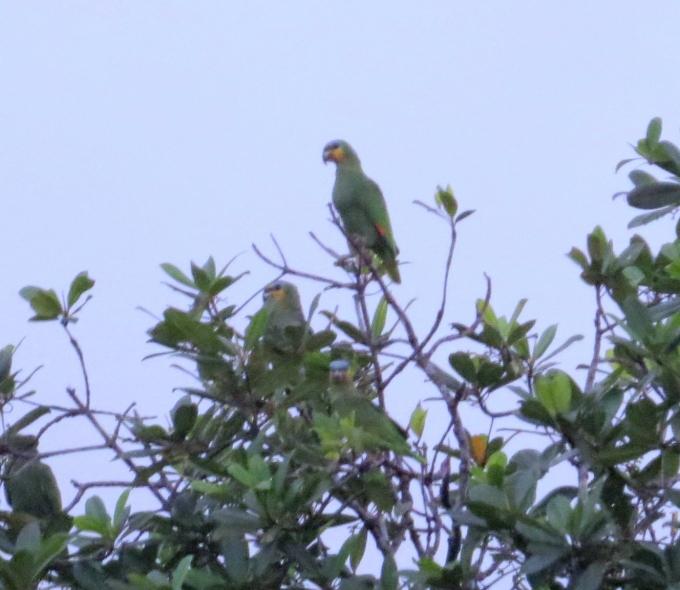 parrots in guyana