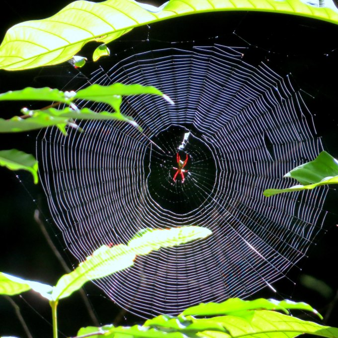 spider on his web in guyana