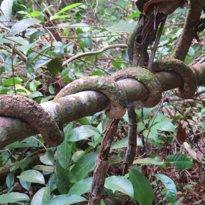 vines look like snakes in guyana