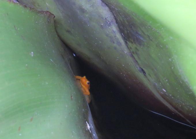 rare golden frog in guyana