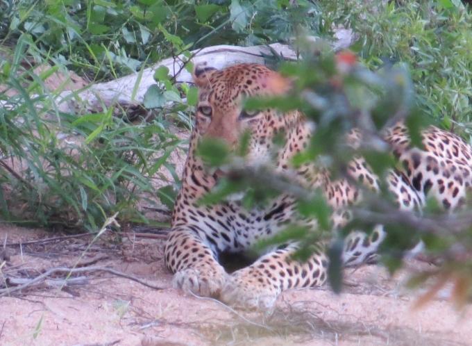 leopard at kruger np