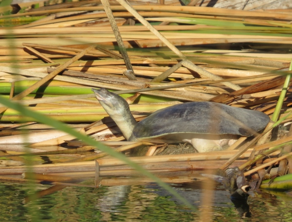 spiny soft shelled turtle