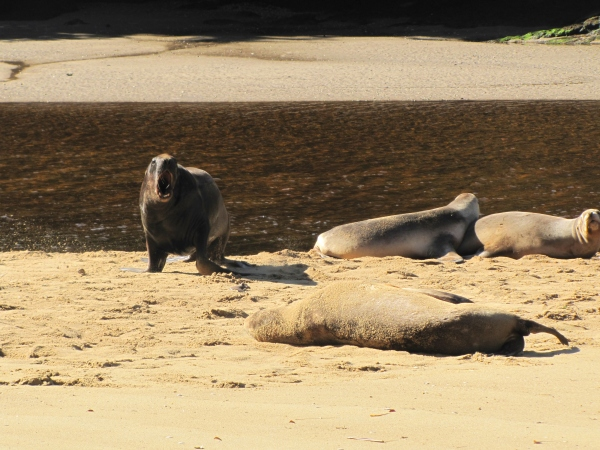 TBT-Stewart Island bull
