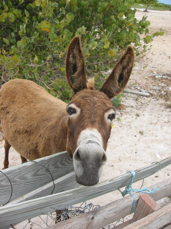 donkey of turks and caicos