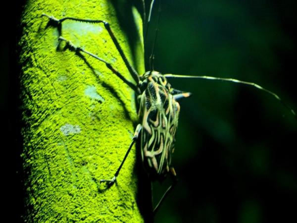 harlequin beetle at asa wright nature center