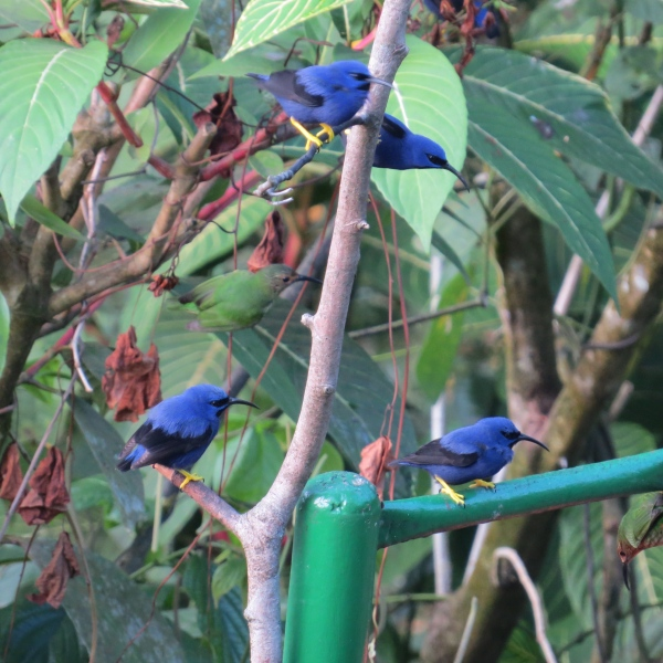 purple honeycreepers at asa wright nature center