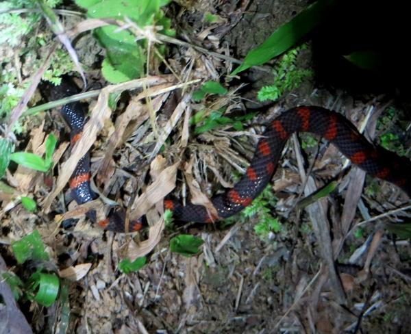 false coral snake at asa wright nature center