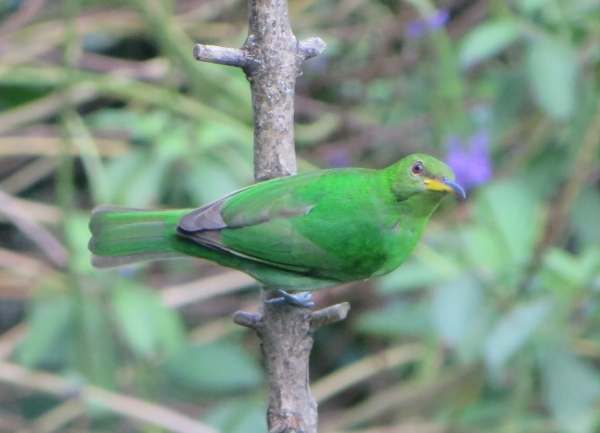 Asa Wriight green honeycreeper