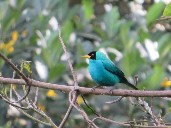 asa wright green honeycreeper