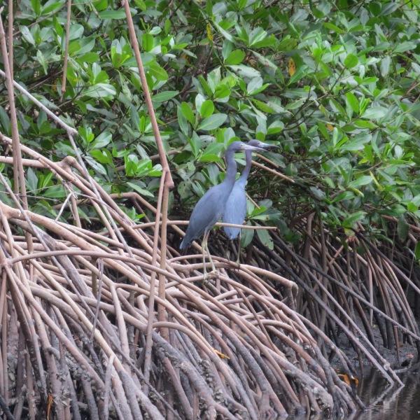 blue herons caroni swamp trinidad